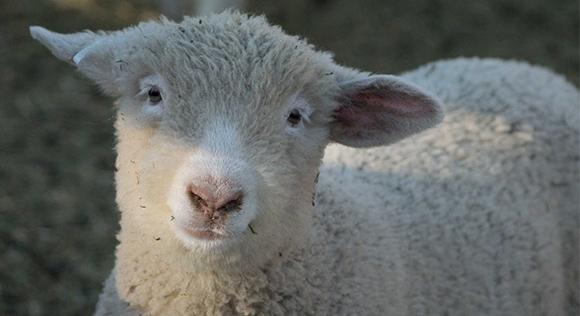 Annas Got Wool lamb weebly ecommerce website design